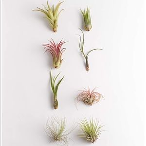 (8) Urban Outfitters Mini Live Air Plant